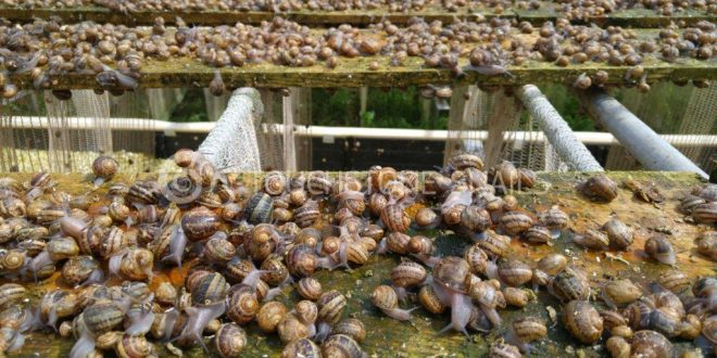 Le Maroc produira 40.000 tonnes d'escargots par an, à l'horizon 2024
