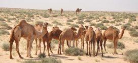 Maroc-Sahara : L'entente des bouchers fait flamber les prix de la viande cameline