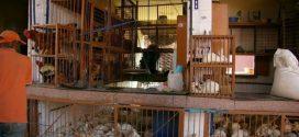 L'étau se resserre autour de l'abattage traditionnel de la volaille au Maroc