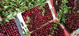 La production des cerises à Sefrou en hausse de 85% par rapport à  2018