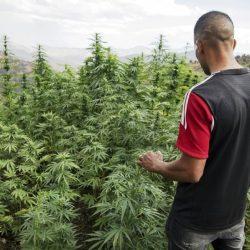 Le débat sur le cannabis refait surface au Maroc sur fond des recommandations de l'OMS