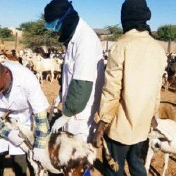 Algérie-Elevage : Découverte de foyers de la peste des petits ruminants à Tindouf près de la frontière marocaine