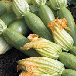 Le Maroc a exporté 15,61 millions de kilos de courgettes vers l'Espagne en 2019