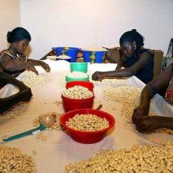 La Côte d'Ivoire table en 2020 sur une production record de 900.000 tonnes de noix de cajou