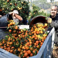 France: La Corse fait appel à 902 travailleurs agricoles marocains pour la saison des clémentines