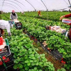 Maroc-Espagne : Plus de 14.000 saisonnières marocaines attendues Huelva pour la cueillette de fraises