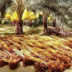 Le Maroc a importé en 5 mois de la Tunisie, plus de 20.000 tonnes de dattes
