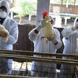 Découverte de cas de grippe aviaire au Mali