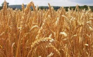 fao-production-mondiale-blé