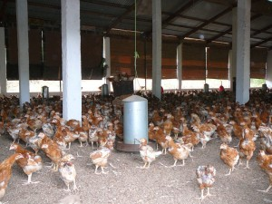 aviculture-cote-ivoire