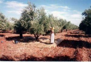 oliviers-ouarzazate