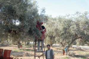 Tunisie-olives-production-record