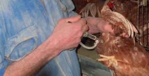 Les éleveurs de volaille utilisent des produits vétérinaires nocifs !