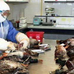 Découverte d'un second foyer de grippe aviaire au sud-ouest de la France