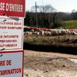 La grippe aviaire fait des ravages dans le sud-ouest de la Fran