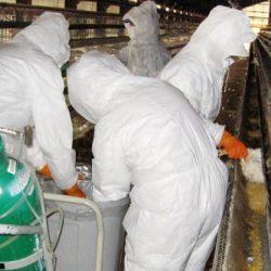 Grippe aviaire: Le gouvernement français assure que la situation est «sous contrôle»