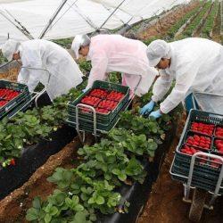 Espagne : 11.833 saisonnières marocaines à Huelva pour la cueillette des fruits rouges