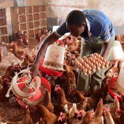 Rwanda-Aviculture : AgDevco investit 3 M$ dans l'entreprise avicole Uzima Chicken