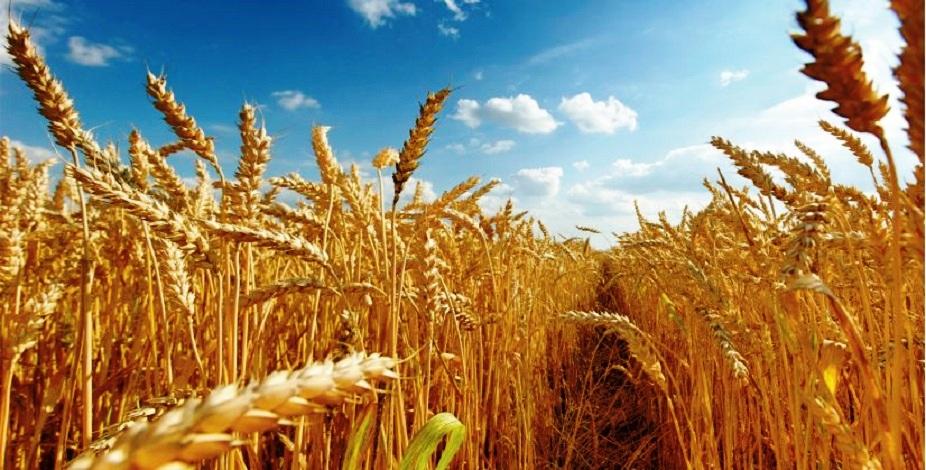 Campagne céréalière 2020-2021 : Le Maroc table sur une production de 98 millions quintaux